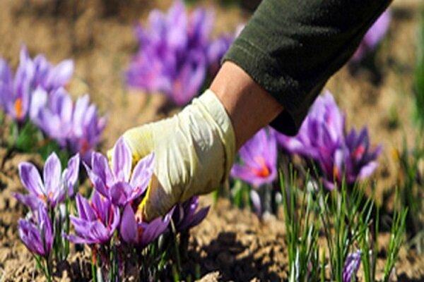افزایش 7 برابری کشت زعفران در خمین